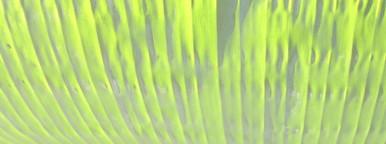Banana leaf  5