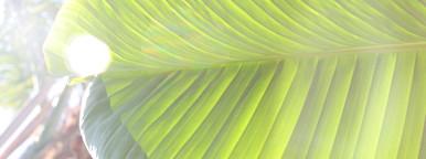 Banana leaf  6