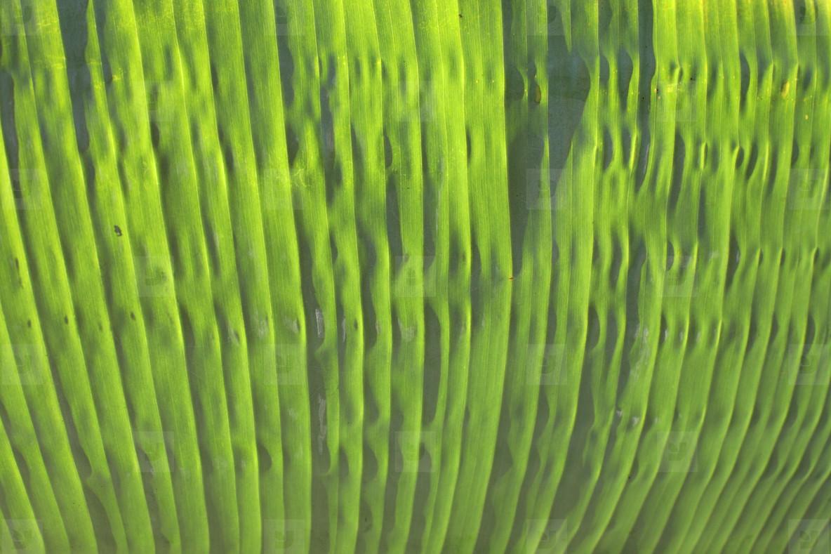 Banana leaf  7