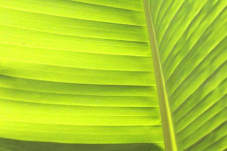 Banana leaf 8