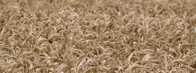 Wheat  Ready