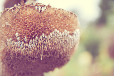dead sunflower