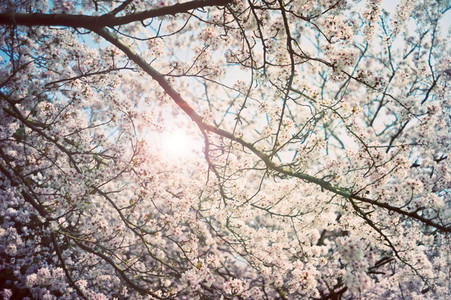 sunlight through blossoms
