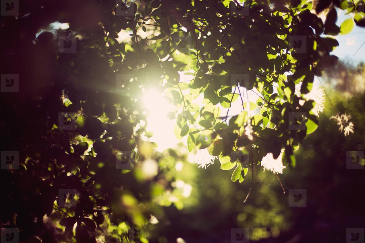 Tree   Sun Flare