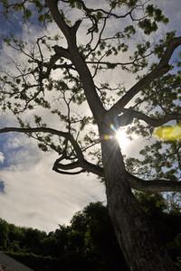 Jamaica Tree