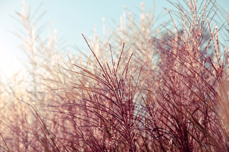 Ornamental Grass 01
