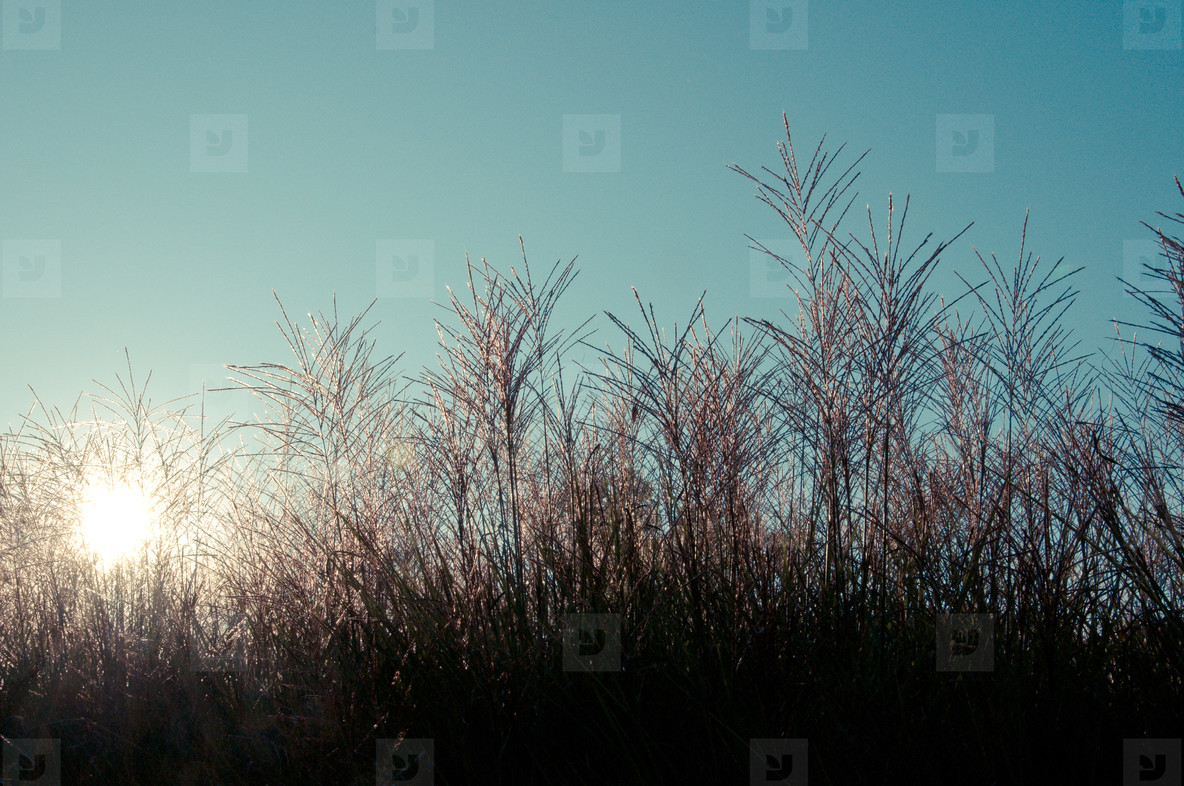 Ornamental Grass 02