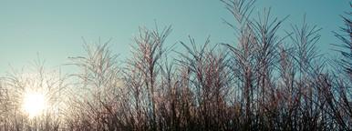 Ornamental Grass 02