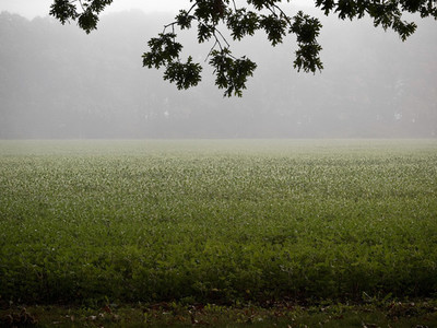 Soybean Field in Morning Mist 1