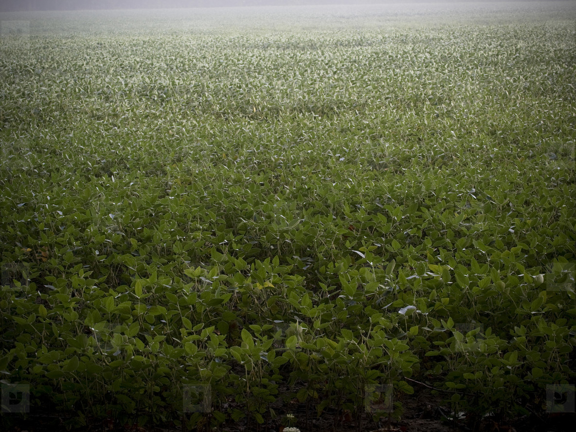 Soybean Field in Morning Mist 2