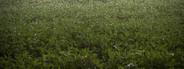 Soybean Field in Morning Mist 2