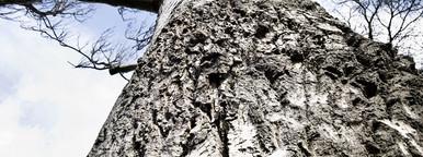 ancient silver birch