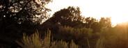 sagebrush at sunset