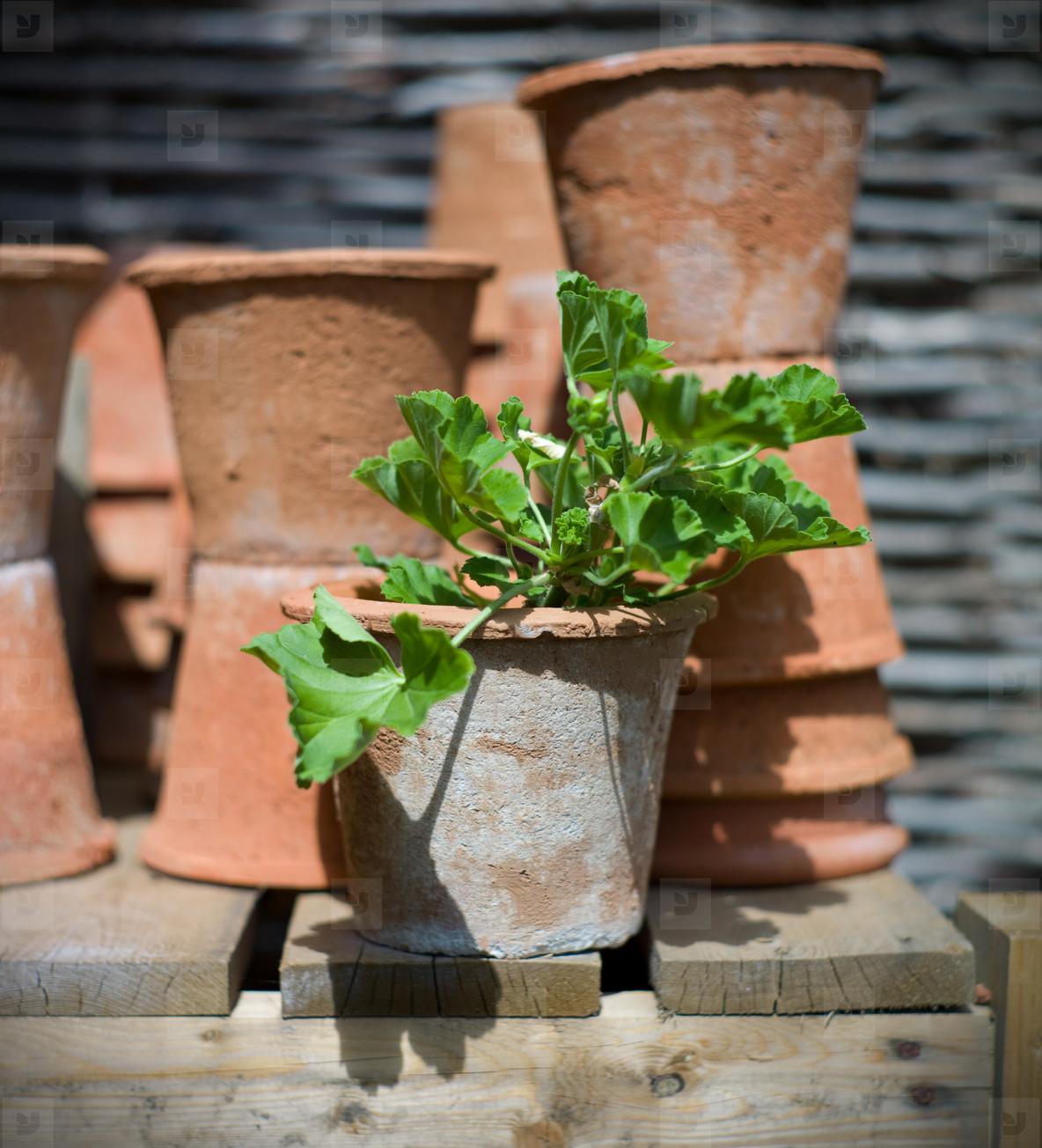terracotta pot with geranium