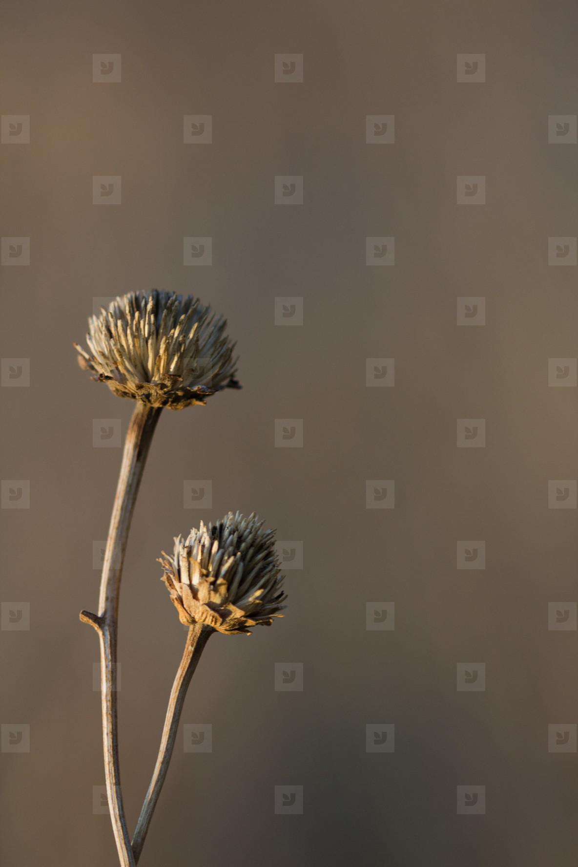 Dead clovers