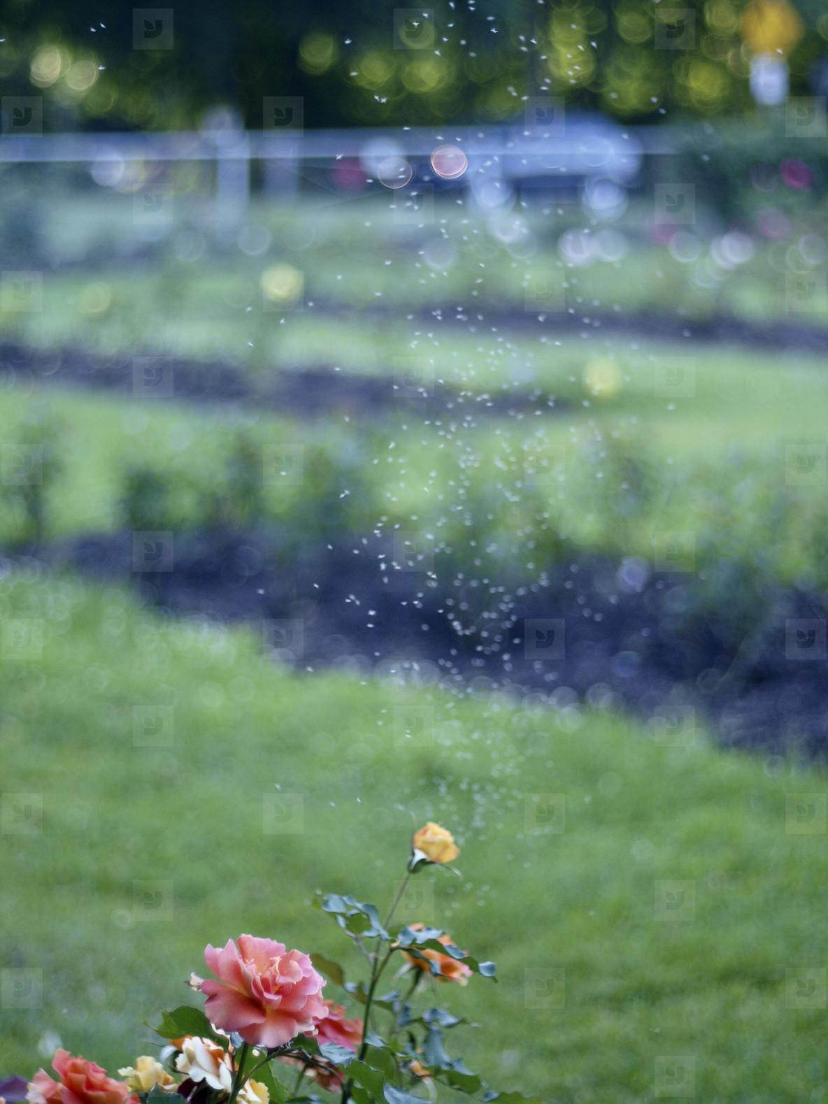 Roses   Gnats