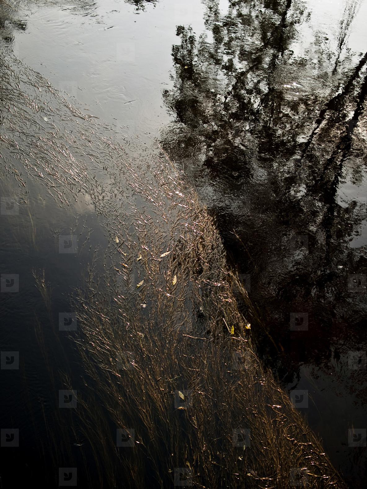 River Weeds  1