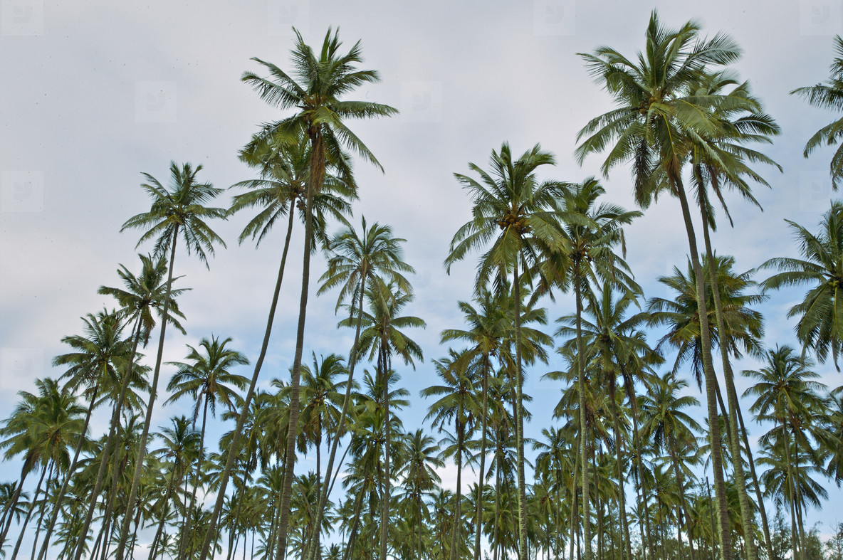 Tall palm tree grove