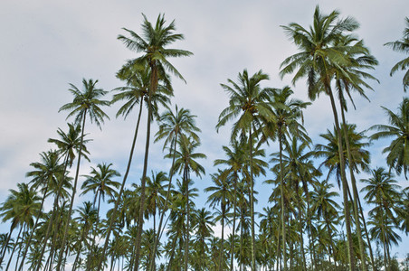 Tall palm tree grove