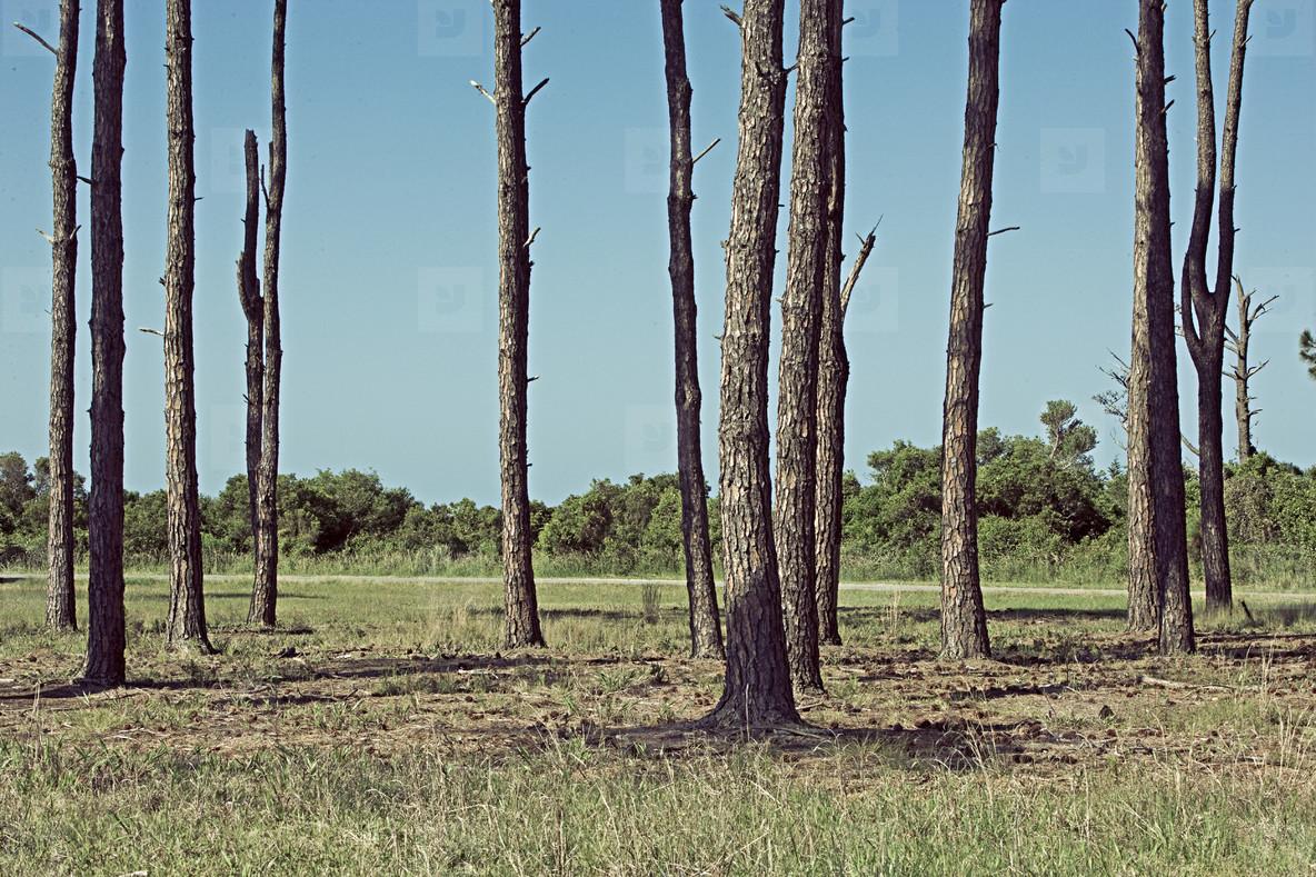 Carolina pine trees