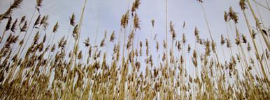 Tall grasses looking upward