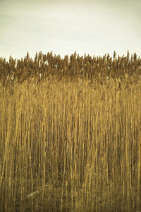 Wall of reed grass