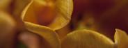 Yellow orange tulip close up