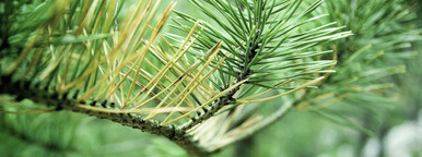 Pine needles on branch