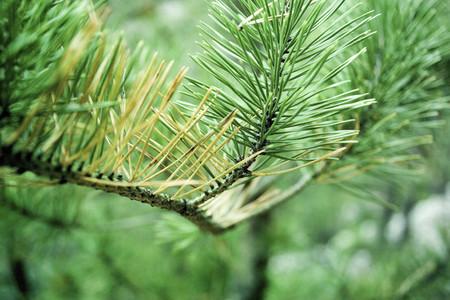 Pine needles on branch