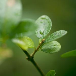 Boxwood bush