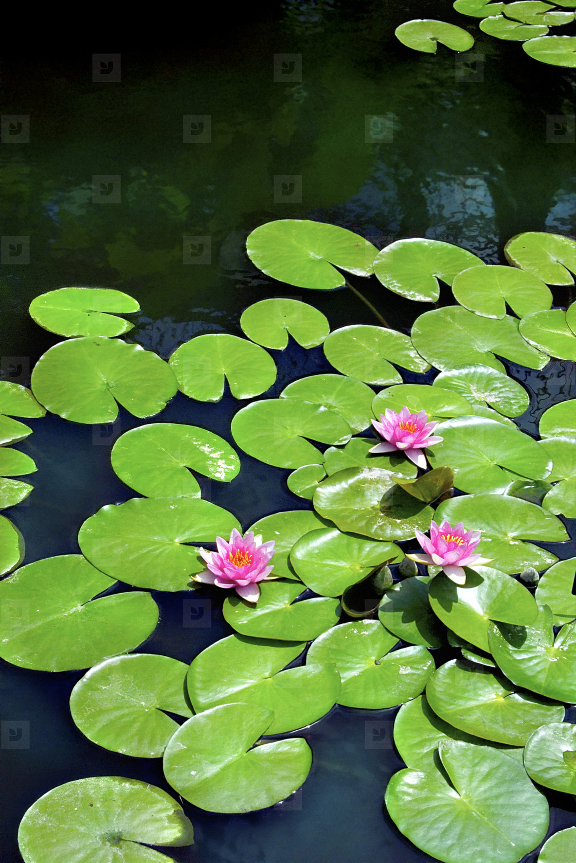 Flowering lily pads on pond