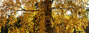 A Solo Autumn Tree