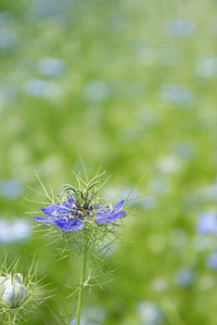 nigella love in the mist