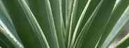 Caribbean island plant