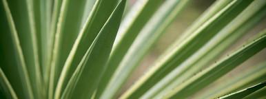 caribbean island aloe plant