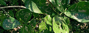 Caribbean plant leaves