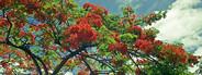 Caribbean flowering tree