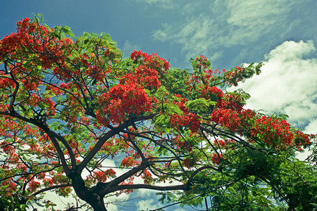 Caribbean flowering tree