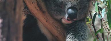 Koala 01