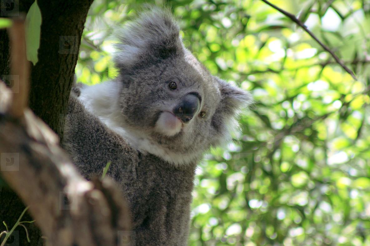 Koala 03