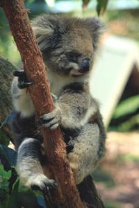 Koala 04