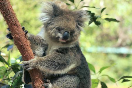 Koala 05