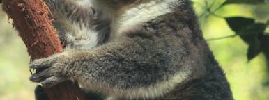 Koala 06