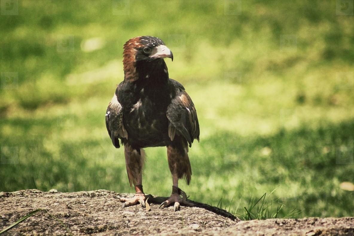 Hawk 02