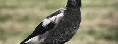 Crow 01