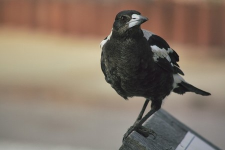 Crow 04