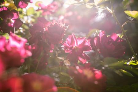 beautiful rose flowers