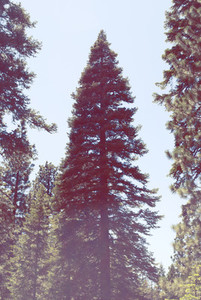 California Tree