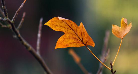 Tulip leaf