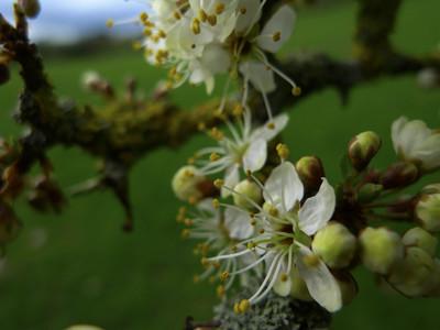 Sloe flowers